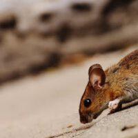 Muizenplaag bestrijden