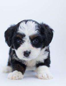 Puppy kopen